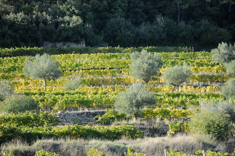 Olive trees punctuate a nearby vineyard.