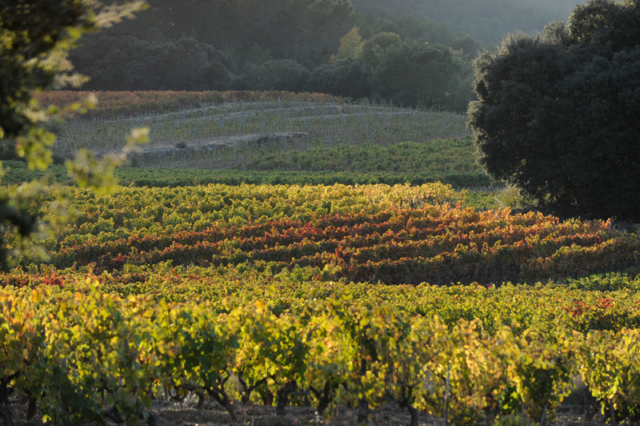 After the harvest, vines begin their fall transition.