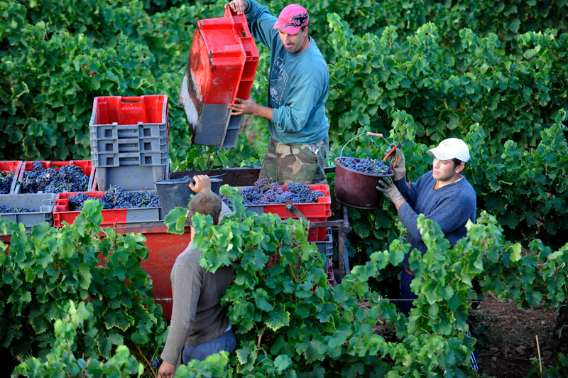 Every vineyard is alive with busy harvestors.