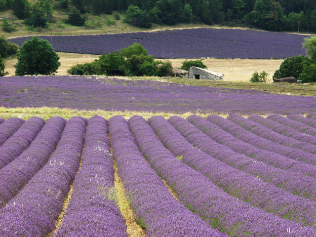 Lavender fields near Sault, farther to the west and north.